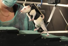 An undated handout photo provided by the Swiss Federal Institute of Technology (EPFL) May 31, 2012, shows a rat walking on its hind legs during an experiment at the Center for Neuroprosthetics and Brain Mind Institute in Ecublens. REUTERS/EPFL/Handout