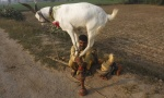 A man balances a goat on wooden sticks for his audience by a roadside in the outskirts of Faisalabad November 5, 2012. REUTERS/Fayyaz Hussain/Files