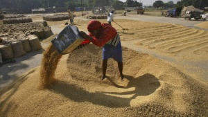 A labourer spreads paddy for drying at a wholesale grain market in Chandigarh October 8, 2012. REUTERS/Ajay Verma/Files