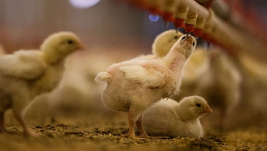 antibiotic use in chickens