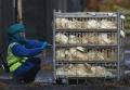 Bird Flu Scare