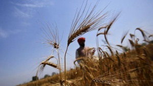A farmer stands in his wheat field, which was damaged by unseasonal rains, at Vaidi village in Uttar Pradesh, March 25, 2015. REUTERS/Anindito Mukherjee/Files