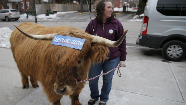 Melissa Chandler holds onto Bleu, a Scottish Highlander steer wearing a campaign sticker for Bernie Sanders, in downtown Manchester, February 8, 2016. Chandler brought Bleu downtown to promote New Hampshire agriculture. REUTERS/Brian Snyder