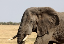 An elephant walks in Serengeti National Park in this August 18, 2012 file photo. REUTERS/Noor Khamis/Files