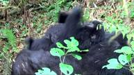 Camera captures baby gorillas