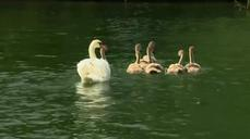 England's annual swan count begins