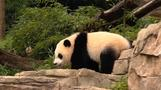 Panda Bao Bao turns 1 at National Zoo