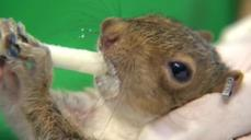 Washington wildlife center goes nuts over baby squirrels