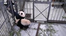 Don't go! Panda cub clings to keeper's leg at a research facility