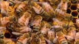 Saving the honey bees