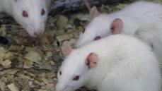 Deaf mice cured with gene therapy