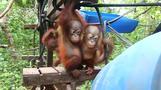 An orangutan school tops this week's animal wrap