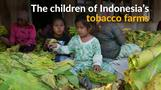 Child labor in Indonesia's tobacco farms