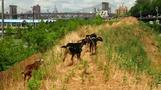 Four goats graze in Brooklyn