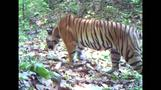 Thai tiger sanctuary earns its stripes