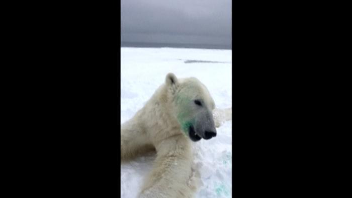 Visitors bring trouble to Norway's polar bears