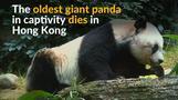 Oldest panda in captivity dies