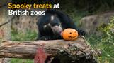 Halloween treats delight Britain's zoo animals