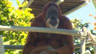 Oldest orangutan turns 60 in Perth