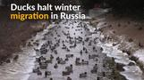 Thousands of ducks take up residence in Russia's St Petersburg