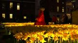 Thousands of daffodils light up night by St Paul's Cathedral