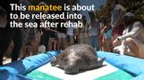 Injured manatee back in the wild after rehab