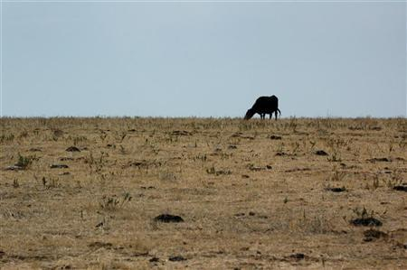 A cow grazes a drought-parched field in Morristown, South Dakota, August 8, 2006. A La Nina weather pattern could be in store for spring and summer, which could make it a dry growing season for grains and soybeans in the US Midwest and Plains, a private forecaster predicted Friday. REUTERS/Jonathan Ernst