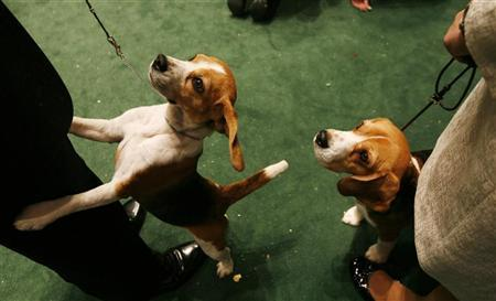 A Beagle begs for a treat from his handler in New York February 13, 2007. A massive pet food recall has touched a nerve with pet-loving Americans, many of whom see their pets as family members. REUTERS/Lucas Jackson