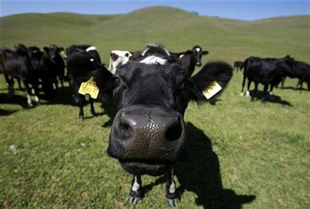 Cows feed on grass as they roam the hills near Pleasanton, California, in this March 23, 2007 file photo. Indian teachers sprinkled cow urine on low-caste students to purify them and drive away evil, reports said on Saturday, in a country where millions of people remain oppressed at the bottom of the ancient Hindu caste system. REUTERS/Mike Blake