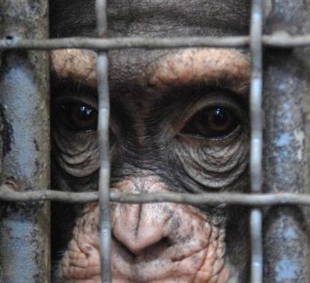 File photo shows a chimpanzee named Koko looking out from his cage at Skopje Zoo in Macedonia, February 12, 2007. The U.S. National Institutes of Health, which supports a variety of biomedical studies using animals, will stop breeding government-owned chimpanzees for research -- a step animal rights advocates lauded on Thursday. REUTERS/Ognen Teofilovski