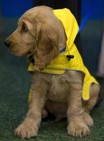 ''Rusty Lu'' a two-month-old cocker spaniel waits at the PETCO Spring Fashion Show at a San Diego, California on March 3, 2007. California may become the only state to require the sterilization of pets under a bill passed by the state Assembly, pitting dog and cat lovers against animal rights activists. REUTERS/Fred Greaves/Handout