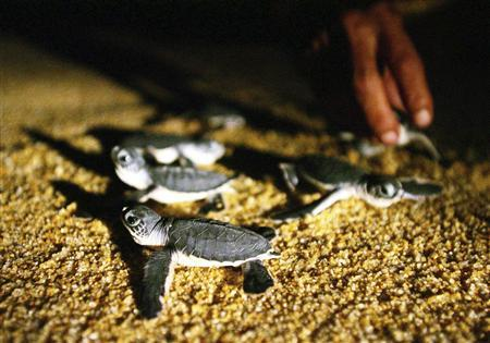 Baby turtles crawl to the sea during their release at Malaysia's Ma' Daerah Turtle Sanctuary Centre in Kemaman, in the northeastern state of Terengganu, in this August 17, 2004 file photo. Leatherback turtles that survived the age of the dinosaurs face extinction across the Western Pacific today, even though rescue strategies could be as simple as saving their eggs from fishing nets. REUTERS/Bazuki Muhammad/Files