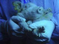 <p>Deux porcelets dont le groin, les pieds et la langue apparaissent vert fluorescent sous des rayons ultraviolet sont nés de l'accouplement d'une truie vert fluo avec un cochon ordinaire. /Photo prise le 7 janvier 2008/REUTERS/China Daily</p>