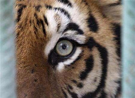 Dina, a Jordanian-born tiger, looks at visitors from its cage in Jordan's Zoo near Amman March 10, 2008. REUTERS/Ali Jarekji