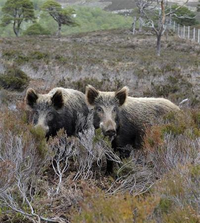 Wild boar stand in the grounds of the Alladale Wilderness Lodge and Reserve Sutherland, Scottish Highlands, Scotland, in this file photo from May 19, 2008. REUTERS/Russell Cheyne