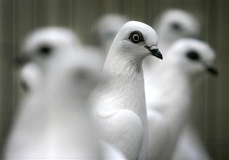 Doves sit in a row at a poultry exhibition in the northern German town of Hanover October 22, 2005. REUTERS/Christian Charisius