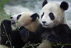 <p>Young giant pandas are seen in their enclosure at Beijing Zoo July 10, 2008. REUTERS/Darren Whiteside</p>