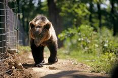 <p>A bear walks in its enclosure in a reservation near Zarnesti, 250km north of Bucharest, August 11, 2008. REUTERS/Mihai Barbu</p>