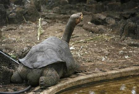 Pinta island tortoise ''Lonesome George'' is seen in his shelter at Galapagos National Park in Santa Cruz September 15, 2008. REUTERS/Guillermo Granja