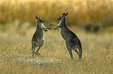 Two juvenile kangaroos dance around each other as they fight in Namagi National Park near Australia's capital city Canberra in this April 15, 2004 file photo. REUTERS/Tim Wimborne/Files
