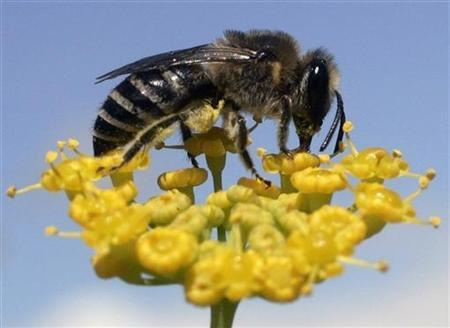 A bee collects nectar from a flower in a garden in Pontevedra in this July 15, 2007 file photo. REUTERS/Miguel Vidal
