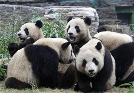 Young giant pandas are seen in their enclosure at Beijing Zoo July 10, 2008. REUTERS/Darren Whiteside