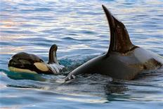 <p>An 18 year-old mother killer whale Sharkan (R) swims along with her recently born baby in the Antibes Marineland amusement park near Nice, on the French riviera February 27. EG/CLH/</p>