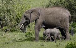 <p>Foto de archivo de una elefanta africana junto a su cría en la reserva Masai Mara, Kenia, 11 nov 2008. Etiopía comenzó a invitar a turistas el lunes a visitar su disminuida manada de elefantes, como parte de los esfuerzos para aumentar los ingresos del turismo. REUTERS/Laszlo Balogh</p>