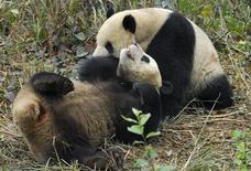 <p>Two giant pandas named Tuan Tuan (back) and Yuan Yuan, whose names when said together means unite in Chinese, are seen at a giant panda centre in Ya'an, Sichuan province, December 22, 2008. REUTERS/China Daily</p>