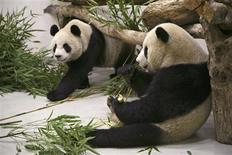 <p>Tuan Tuan and Yuan Yuan, the two giant pandas from China, are seen in the quarantine area in Taipei zoo in Muzha December 23, 2008. REUTERS/Taipei City Government/Handout</p>