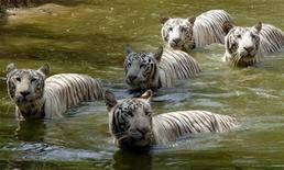 <p>Tigres nadan en un día cluroso en el parque zoológico de Hyderabad, 27 abr 2008. Más de 15.000 personas en el sur de la India protestaron el martes contra la ampliación de una nueva reserva de tigres, a pesar de que las autoridades aseguraron que no perderán sus casas por la ampliación del santuario. REUTERS/Krishnendu Halder (INDIA)</p>
