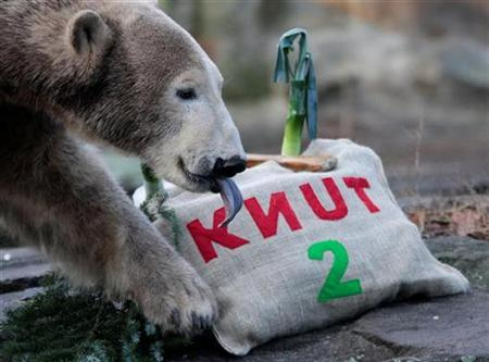 Polar bear Knut eats his 'birthday cake' during his second birthday celebrations in his enclosure at the Berlin Zoo December 5, 2008. REUTERS/Johannes Eisele