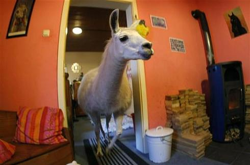 Live-in llama