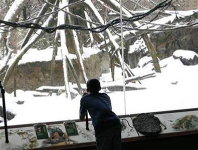 A student from a group of local 12-year-old New Yorkers participating in a regular class under a partnership between the New York City School system and the Bronx Zoo looks out into a snow covered exhibit during their visit to the Zoo's ''Congo'' exhibit, January 28, 2009. REUTERS/Mike Segar